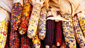 thanksgiving-corn-image